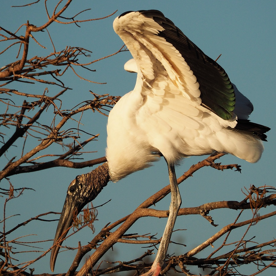 Wood stork in tree with wings flared