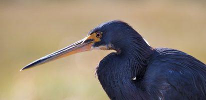 Tricolor Heron, Sarasota FL