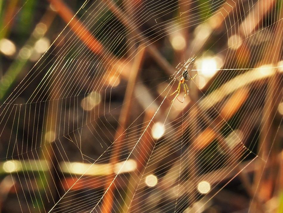 Spider in backlit web