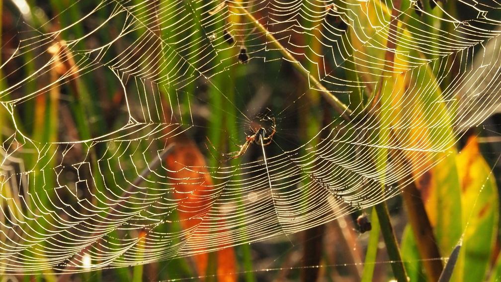 Spider in backlit web in marsh grass