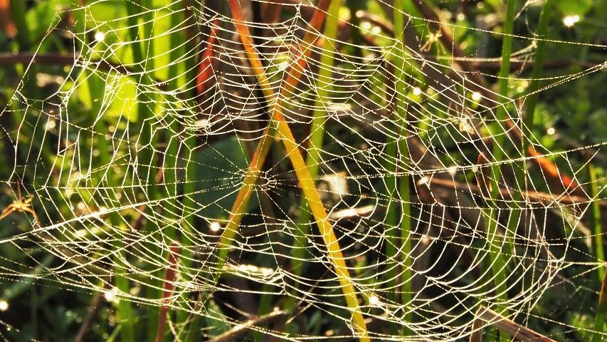 Circular spiderweb, backlit, in marsh