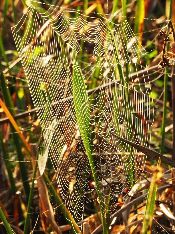Backlit spiderweb, hanging from grasses