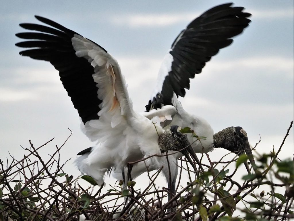 Two word storks with wings flared