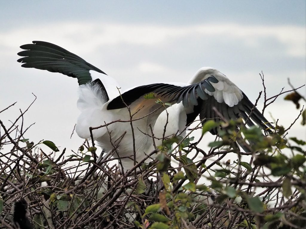 Two wood storks going at it