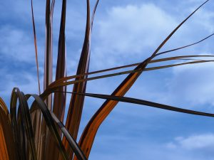 Oranngey bronze palmetto leaves against blue sky.