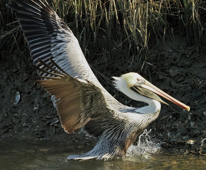 Full-frame shot of brown pelican in pond, wings flared.