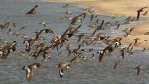 American oystercatchers and other shorebirds coming in for a beach landing