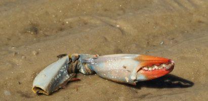 Crab Face, Matanzas Inlet Shore, FL