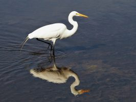 Great egret in mid-step, reflected