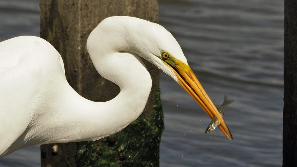 Head and curving neck of great egret with fish in beak