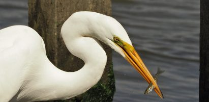 Great Egret, Huntington Beach State Park