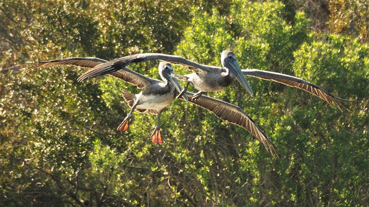 Brown pelicans coming in for a landing, eings extended and feet down