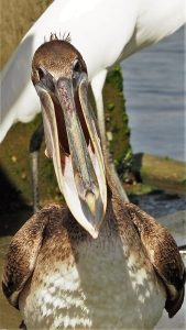 Juvenile brown pelican with bill ajar as if laughing