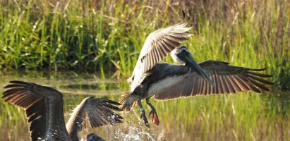 Brown Pelicans (Incoming!)