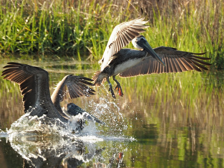 Two brown pelicans coming in for a landing, wings extended and feet down