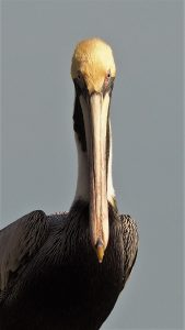 Adult brown pelican looking down his nose