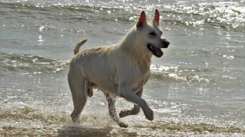 White shepherd-like dog frolicking in surf