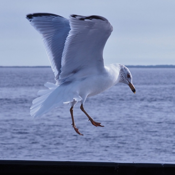 Ring-billed gull coming in for a landing on a ferry railing