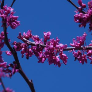 Close-up of branch of redbud in bloom