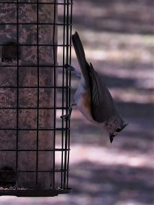 Tufted titmouse hanging upside down on feeder
