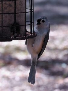 Tufted titmouse, hanging onto bottom of feeder