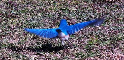 Eastern Bluebird, Brookgreen Gardens SC