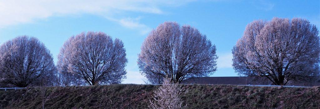 Row of white flowering trees on embankment