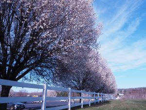 Row of white flowering trees
