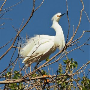 Great egret perched in tree, wind ruffling feathers