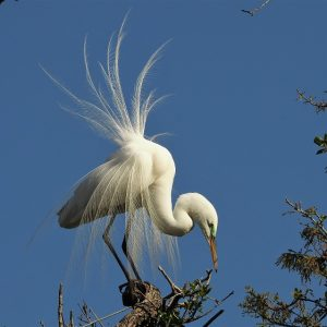 Great egret perched in tree while wind ruffles feathers