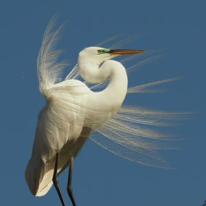 Upright great egret with wind ruffling feathers