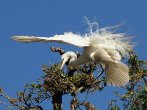 Great egret coming in for landing in tree, wind ruffling feathers on spread wings