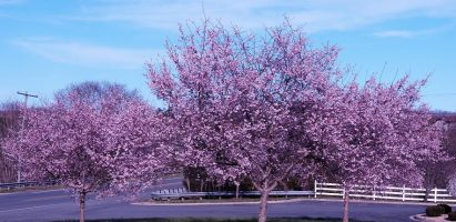 Flowering Crabapple Trees, Lexington VA