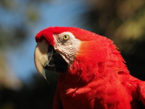 Head shot of red parrot