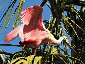 Roseate spoonbill standing in a tree, wings flared