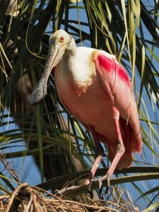 Roseate spoonbill sitting in a tree, wings folded
