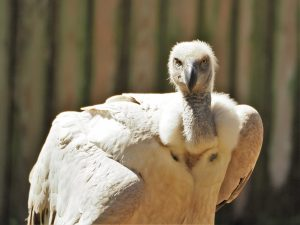 Beady-eyed stare from white-backed vulture
