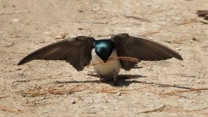 Tree swallow gathering nesting material while appearing to take a bow