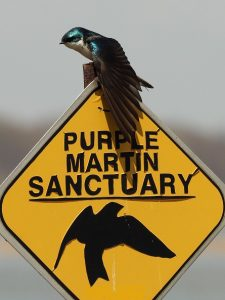 Tree swallow perched on sign for purple martin sanctuary