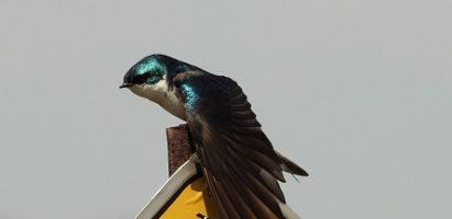 Suave Birdified