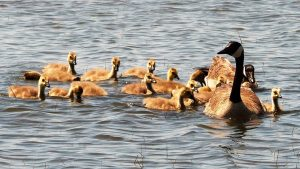 Gaggle of goslings with parent Canada Goose.