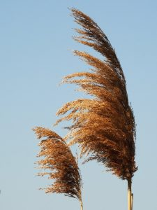 Dried heads of pampas-style grasses in warm morning light.