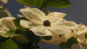 Close-up of single white dogwood blossom