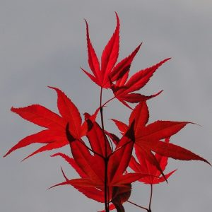 Cluster of new leaves on Japanese maple