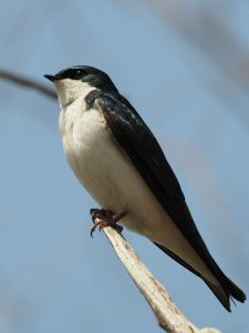 Profile view of tree swallow