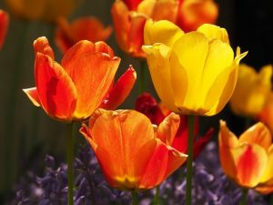 Yellow and orange tulips in sunlight