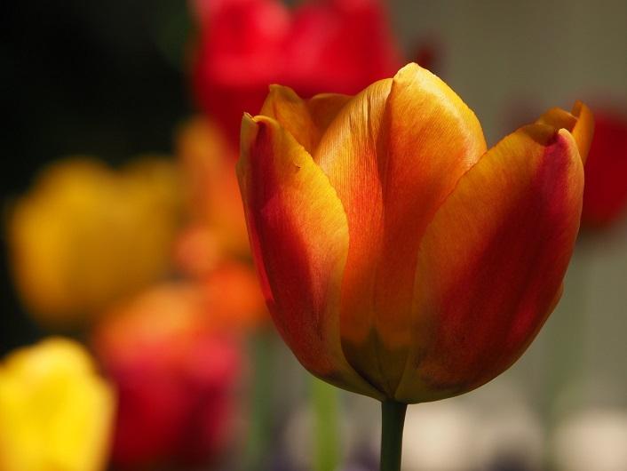 Close-up of single orange and yellow tulip