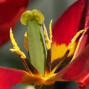 Stamens from blown tulip