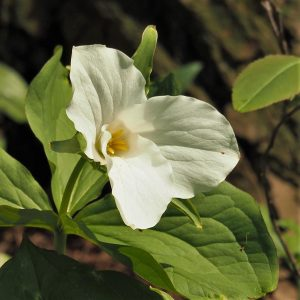 Single flower of white trillium.