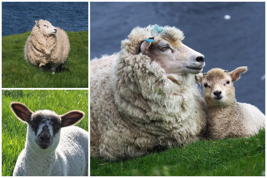3 views of sheep and lambs in the Shetlands
